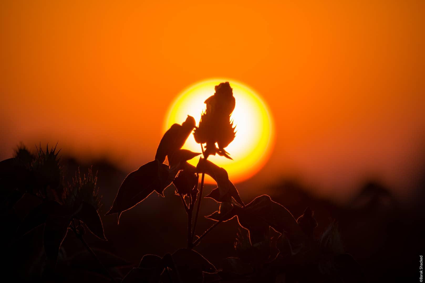 סילואט פרח כותנה בשקיעה