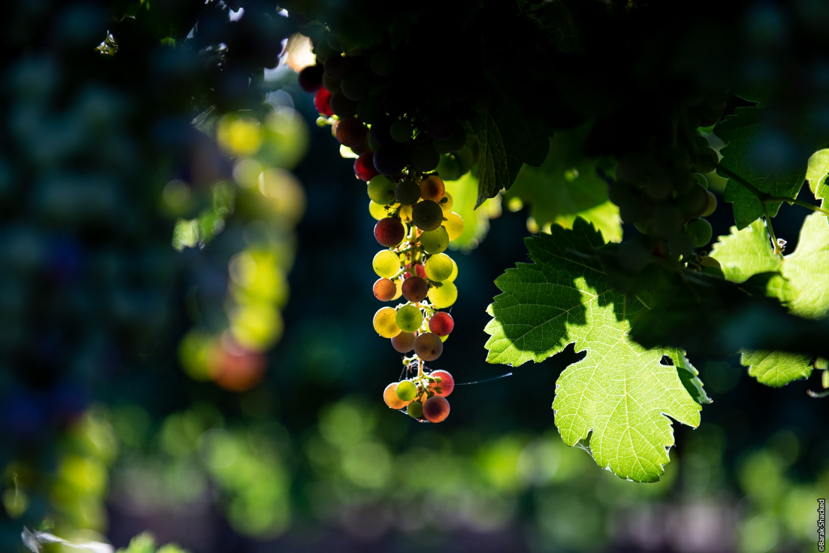 צילום ענבים בשקיעה