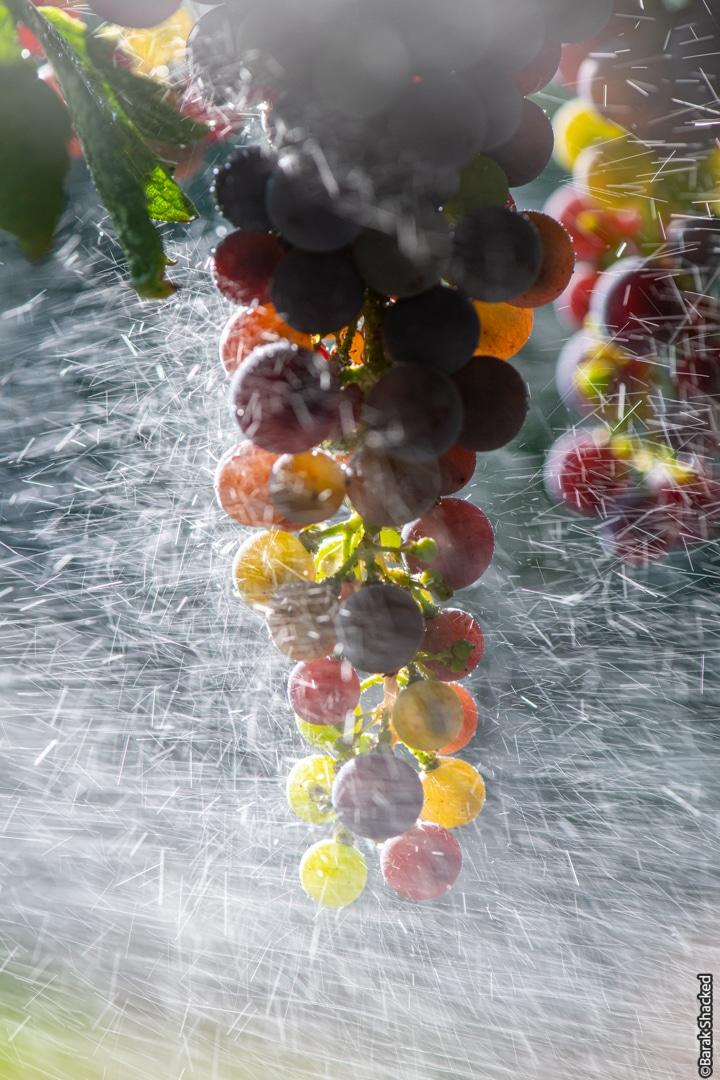 ענבים צבעוניים בכרם